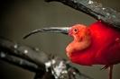 Red Bird_1