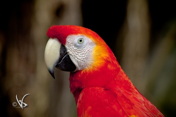 Red Parrot_1